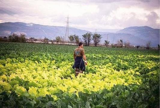 Les champs de choux contaminés à Caivano. © Mauro Pagnano (avec l'aimable autorisation de l'auteur)